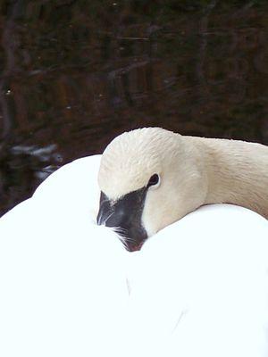 Swan napping