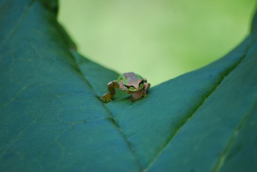 Tree Frog Eating Ant