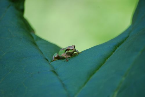Tree Frog Contemplating Lunch