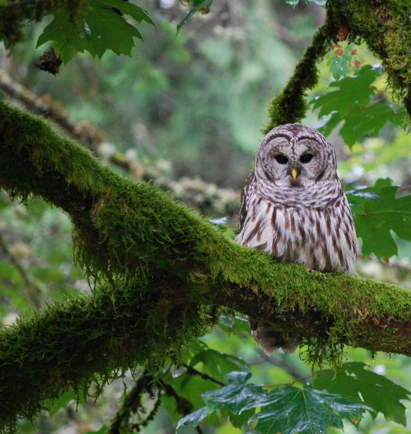 Owl - in mossy Alder