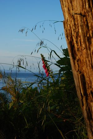 Foxglove at Sunset