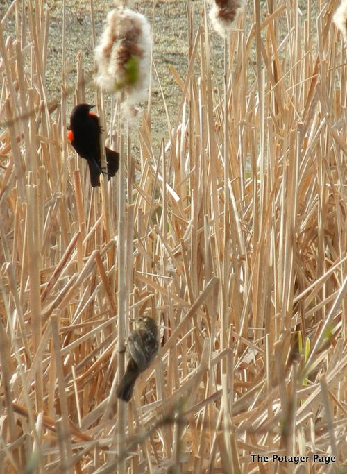 Male and Female red-winged blackbird