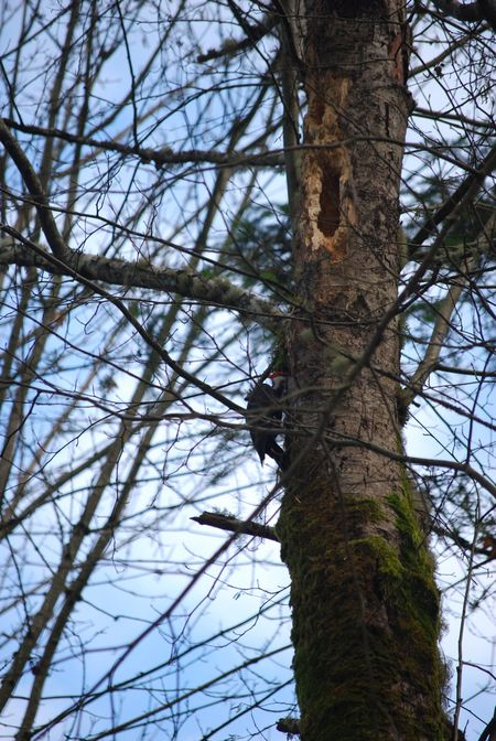 Pileated Woodpecker Foraging