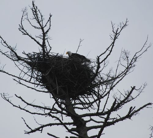 Eagles Nest - Mama Eagle