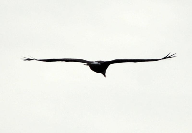 Eagle - Manitou Beach